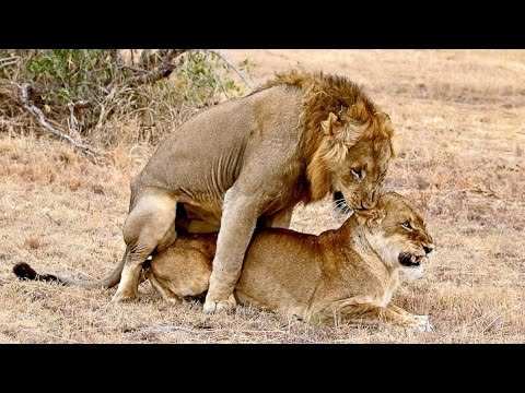 Elephant interrupt the mating of lions