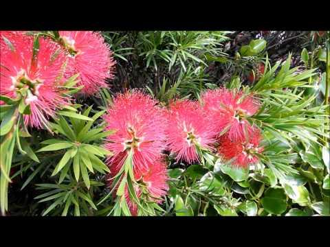 """""""Bottle brush plant"""" (Australian) doing well in Dublin, Ireland"""