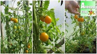 ПОМИДОРЫ из обломков рассады. РЕЗУЛЬТАТЫ ЕСТЬ!!! 🍅(В этом видео я показываю свой личный опыт выращивания помидор или томатов из обломков. Весной при высадке..., 2016-09-14T12:35:35.000Z)