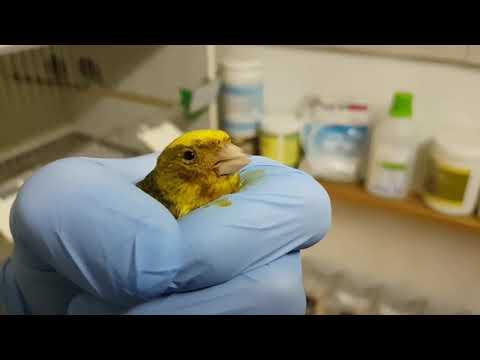 Wirus ospy u kanarków. Canarypox Virus (CNPV) - symptoms