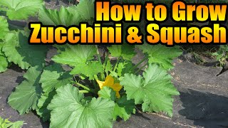 How to Grow Zucchini and Squash