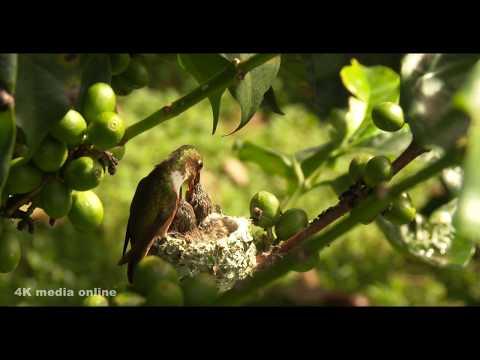 Nest Building & feeding chicks, Manana Madera, Boquete, Panama, 4K UHD
