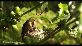 Hummingbird Nest Building & Feeding Chicks, 4K video, Boquete Panama