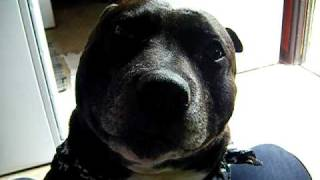 Coolest Talking Staffordshire Bull Terrier / Staffy