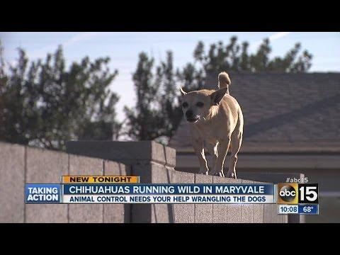 Chihuahua Dog Gang Runs Wild in Neighborhood