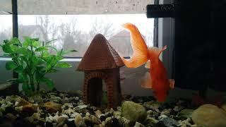 Кормят золотых рыбок в аквариуме 4K