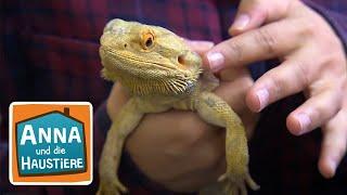 Mini-Dinos: Agamen | Reportage für Kinder | Anna und die Haustiere