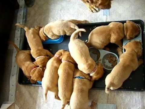 FEEDING TIME AT THE ZOO! DOGUE DE BORDEAUX PUPPIES
