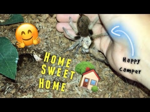 Arizona Blonde TARANTULA gets a NEW HOME !!!