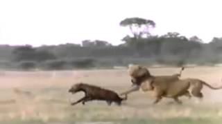 львы против гиен