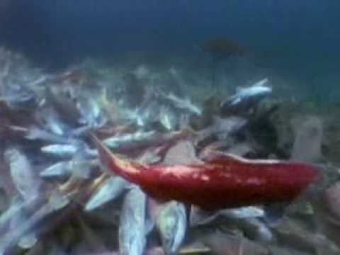 Life Cycle Of Salmon