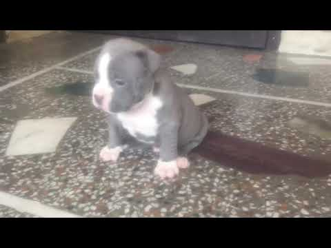American Bully price 40000/- Rs.