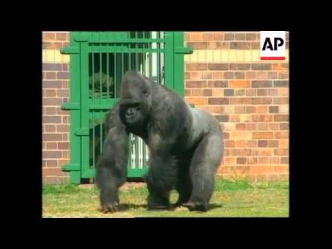 SOUTH AFRICA: MAX THE GORILLA RETURNS TO JOHANNESBURG ZOO