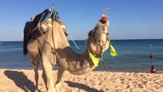 Верблюд выпиваха...