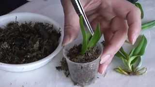 видео Выращивание орхидеи Фаленопсис в домашних условиях: как ухаживать, как поливать, как выглядят семена, как нарастить корни, как разделить, подкормка