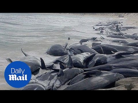 More than 150 whales stranded on a beach in Australia - Daily Mail