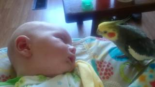 Cockatiel gives kisses and sings to a sleeping baby.