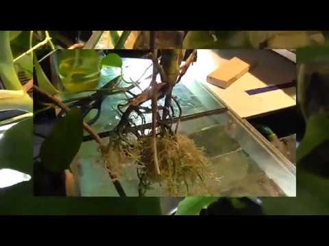 Монстера и аквариум (пересадка,крепление,корни)