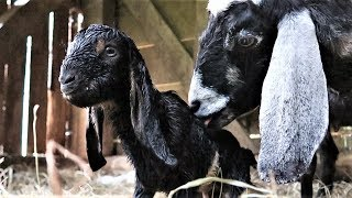 more-baby-goats-born-on-the-farm