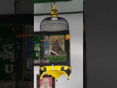 """Banyu bening"" lovebird dr kota dingin malang (ukasya lovebird)"