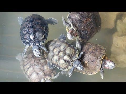 Red Ear Slider Turtles