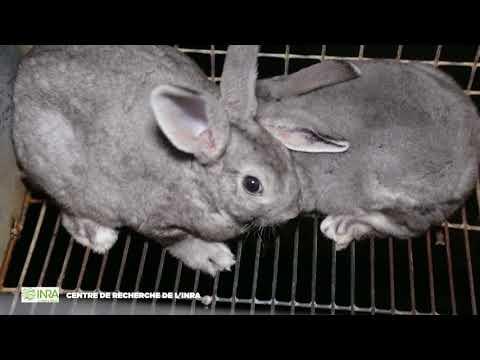 Fourrure de luxe : l'enfer des élevages de lapins Orylag - France 2017