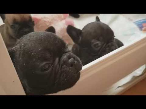 Womble viewing French bulldog puppies