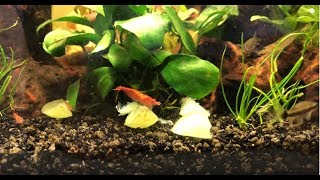 How to Feed Grapes to Shrimp and Otocinclus