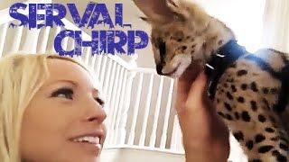 Serval Chirp So Cute!!