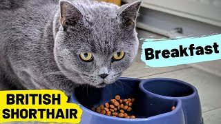 British Shorthair - Breakfast | Tom's Funny #08