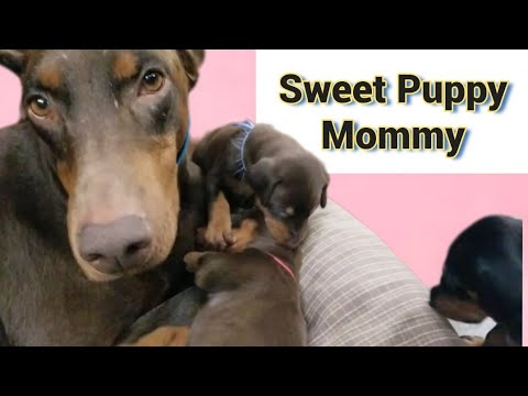 Sweet Moments Puppies with Doberman Mother