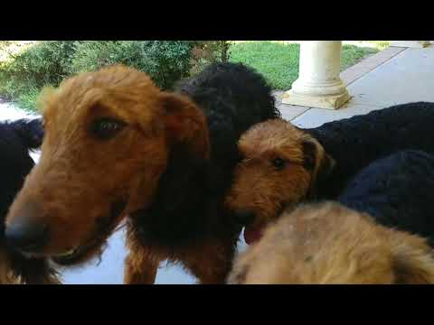 Sitting Around With My Airedale Terrier Puppy Puppies For Sale On August 29, 2018