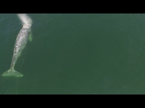 Grey whale drone video in Vancouver's Stanley Park
