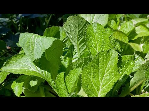 5 health benefits of mustard greens mustard greens - What to do with mustard five unknown uses ...