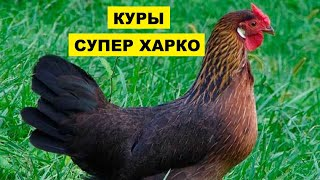 Разведение кур породы Супер харко как бизнес идея   Птицеводство   Куры Супер харко