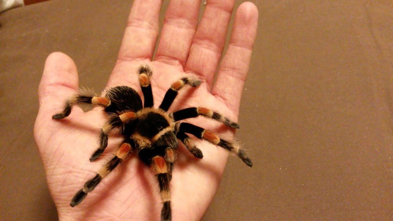 Handling My Mexican Redknee Tarantula