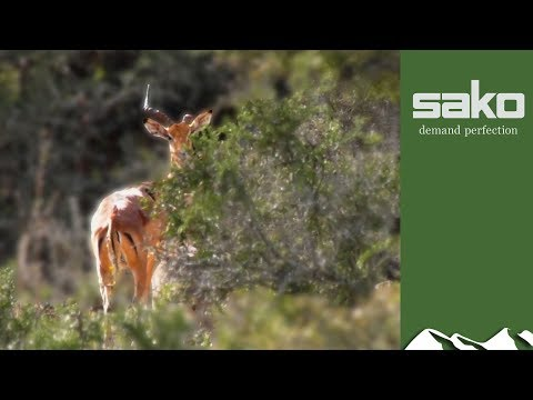 Impala Hunt In The Eastern Cape