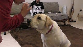 2019.4.3(wed) Labrador retriever ラブラドールレトリバー ラブラドー...