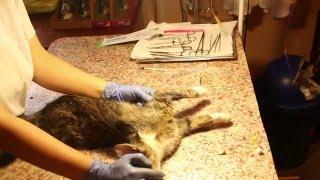 Постановка внутривенного катетера кошке