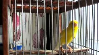 Russian Canary flute singing.