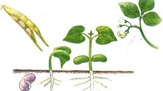 Половое размножение растений. Ф 2.  Урок биологии.
