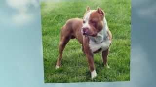 Comportamiento Cachorros Raza Pitbull