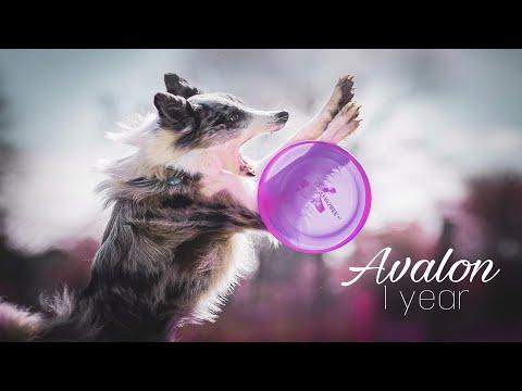 Border Collie Avalon  1 year    frisbee, tricks & fun