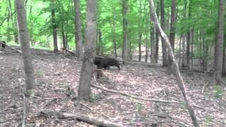 pigs fighting Tusk-N-Tines Outfitters of Ohio