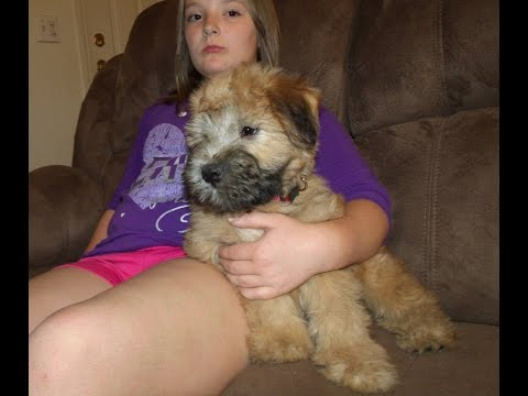 Murphy, A Soft Coated Wheaten Terrier Puppy from Celebritypups.com