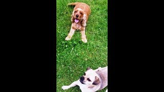 Chug Dog Bridie & Cocker Spaniel Willow whizzing.