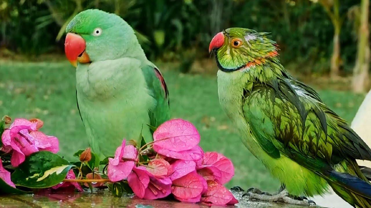 Parrots Taking Shower