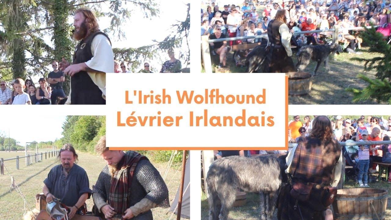 A la rencontre de L'Irish Wolfhound ou Lévrier Irlandais ...