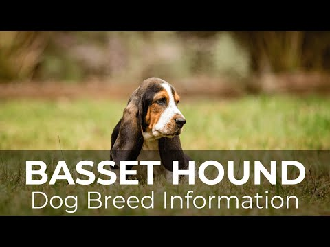 Basset Hound Dog Breed Information & Pictures  Chews A Puppy