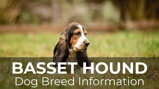 Basset Hound Dog Breed Information & Pictures  Chews A Puppy